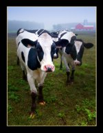 Wisconsin Cows