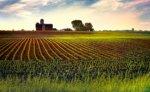 Corn Rows #2